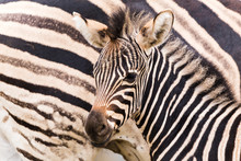 An Adult Chapmans Zebra Seen B...