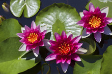The Beautiful Red Lotuses. Pink Water Lilies. The Old Pond Is Decorated With A Colorful Water Lily. Freshwater Habitat. Beautiful Nature. Water Plant .Nymphaea, Pink Nymphea - Aquatic Vegetation