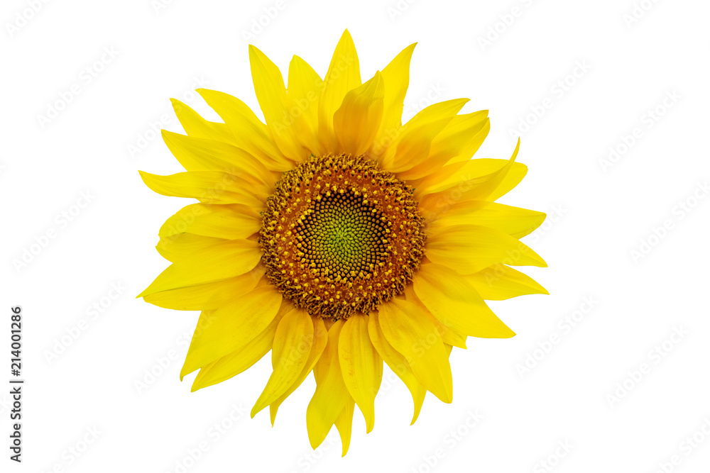 One sunflower close up isolated on white background