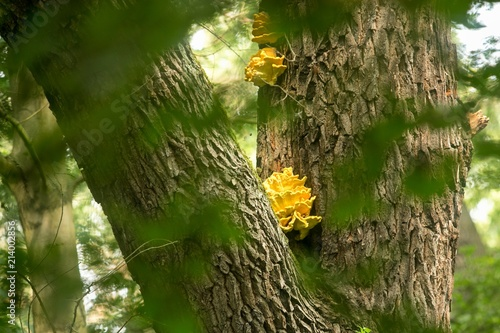Fényképezés  Bright yellow-orange mushroom, Laetiporus sulphureus, growing on a tree trunk cl