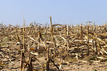 Corn Field Stubble