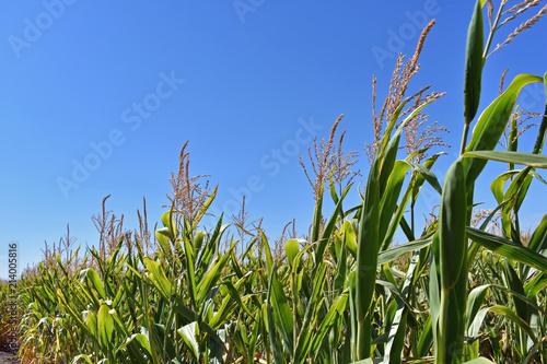 Slika na platnu Cornstalks Against Blue Sky