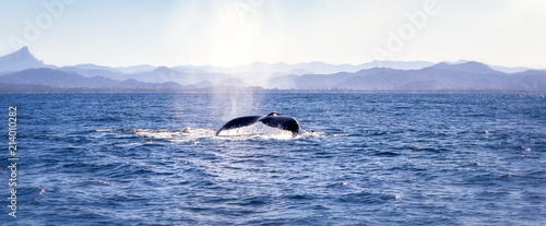 Slika na platnu Humpback whale swimming at the surface of the ocean going towards Byron bay