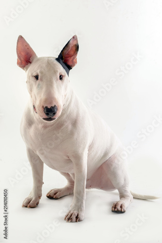 Fotografiet dog bull terrier on white background