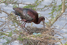 Photograph Of A Glossy Red Ibis Taking Care Of Blue Eggs In Her Next