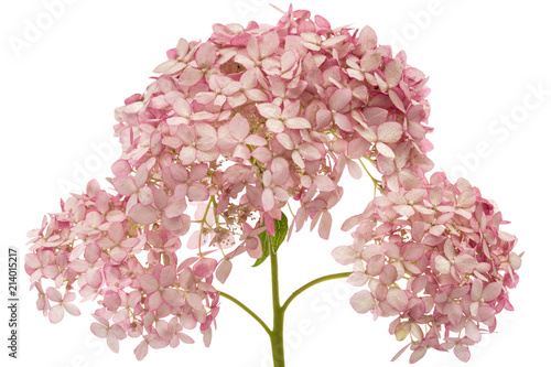 Foto auf AluDibond Hortensie Inflorescence of the pink flowers of hydrangea close-up, isolated on white background