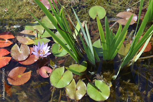 Fotografie, Obraz  Colorful Lily Pond #2