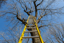 Tall Yellow Ladder Going Up A Bare Maple Tree On A Perfect Blue Sky Background