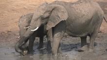 Slow Motion Of Elephant Family...