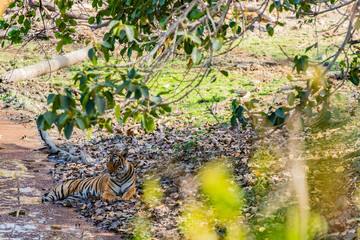 Tiger resting in shade of large tree