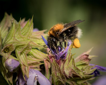 A Common Carder Bee Feeding On Sage