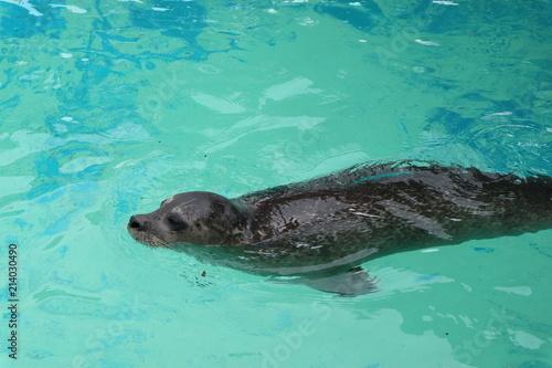 Fotobehang Vissen Seal in azure water