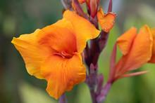 オレンジ色のカンナの花のアップ