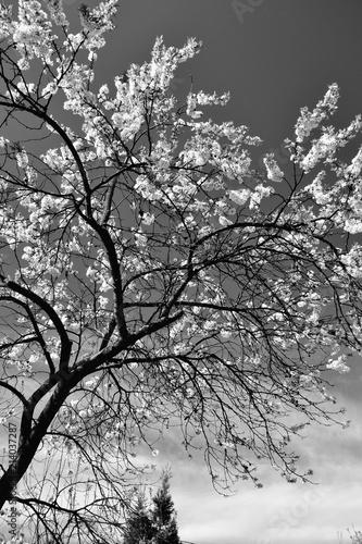 Цветущее вишнёвое дерево в черно-белой палитре