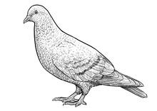 Pigeon Illustration, Drawing, ...