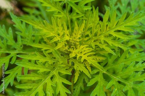 Photo Ragweed green background