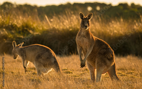 Foto op Canvas Kangoeroe Kangaroo in open field during a golden sunset