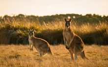 Kangaroo In Open Field During ...