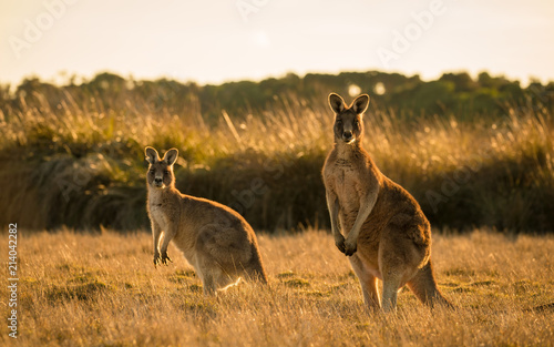 Spoed Foto op Canvas Kangoeroe Kangaroo in open field during a golden sunset
