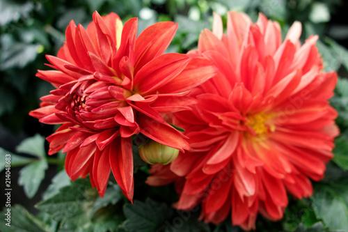 In de dag Dahlia Beautiful dahlia flower. Macro photography.