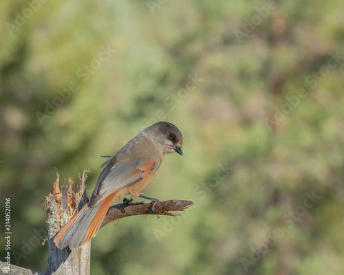 Obraz na plátně Siberian jay (Perisoreus infaustus) perching on a branch