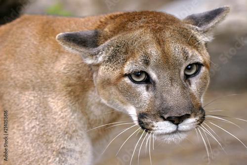 Fototapeta premium Oczy lwa górskiego, portret Cougar z bliska