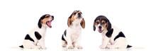 Three Beautiful Beagle Puppies