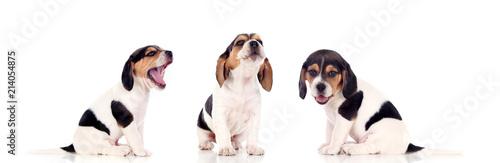 Wallpaper Mural Three beautiful beagle puppies