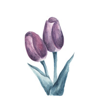 Purple Tulip Isolated On White Background. Watercolor Floral Botanical Illustration.