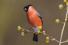 Bullfinch (Pyrrhula Pyrrhula) Male, Perched On A Twig, Neunkirchen, Siegerland, North Rhine-Westphalia, Germany, Europe