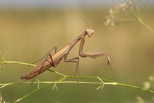 Praying Mantis (Mantis Religio...