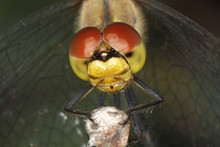 Ruddy Darter (Sympetrum Sanguineum), Detail View Of The Head Of A Dragonfly, Burgenland, Austria, Europe