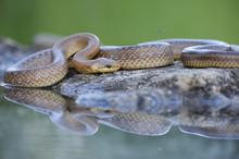 Aesculapian Snake (Zamenis Lon...