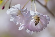 Blossoming Japanese Cherry (Pr...