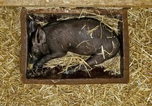 Black Piglet Sleeping In A Fee...
