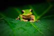 Tree frog, Taipei, Taiwan, Asia
