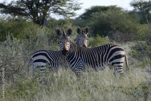 Mountain zebras (Equus zebra), Erongo Region, Namibia, Africa