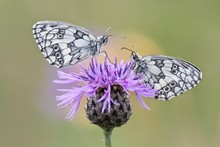 Two Marbled White Butterflies ...