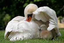 Mute Swan (Cygnus Olor) With Cygnets, North Hesse, Hesse, Germany, Europe
