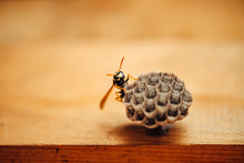 Small Wasp Protect His Honeyco...