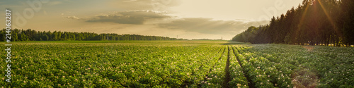 Photo sur Aluminium Pres, Marais summer agricultural landscape. potato field in the rays of the setting sun