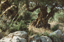 Old Olive Tree With Huge Trunk...
