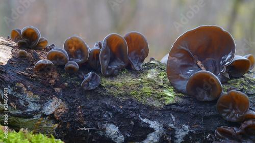 Auricularia auricula-judae fungus