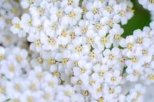 Milfoil Flowers In Meadow Macr...