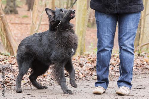 Fotografía  Portrait of Belgian Shepherd groenendeal in Belgium