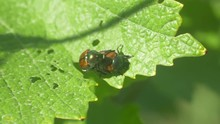 Grapevine Beetles On Grape Lea...