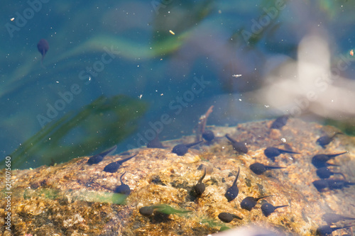 Tadpoles swimming in clear water Fototapeta