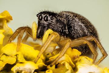 Jumping Spider, Copper Sun-jumper, Copper Sun Jumper, Spider, Heliophanus cupreus, Salticidae