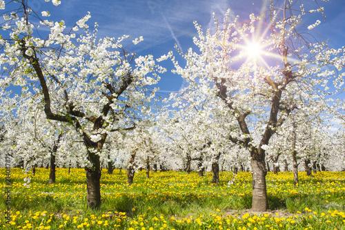 Apfelbaumplantage in Blüte