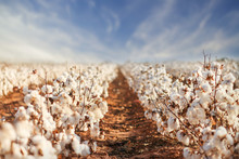 Cotton Field In West Texas